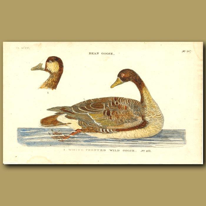 Antique print. Bean Goose