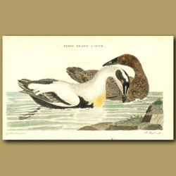 Eider Duck And Drake