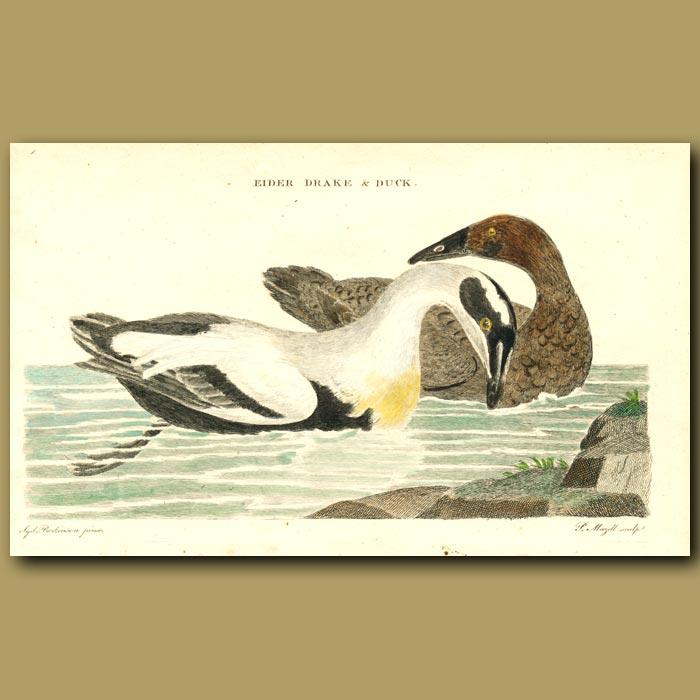 Antique print. Eider Duck and Drake