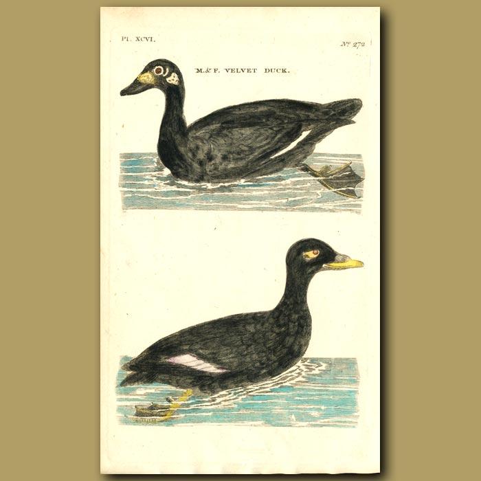 Antique print. Velvet Duck