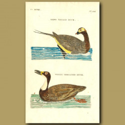 Long-Tailed Duck And White-Throated Duck