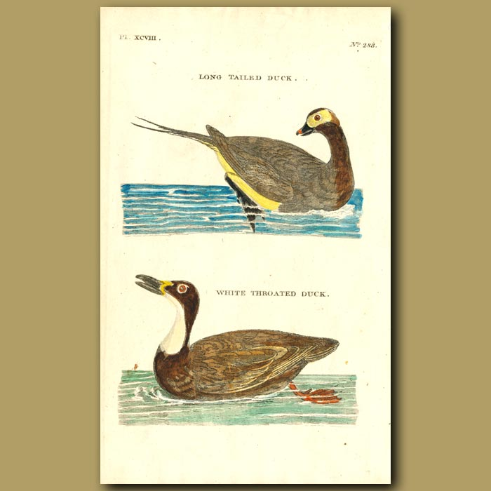 Antique print. Long-tailed Duck and White-throated Duck