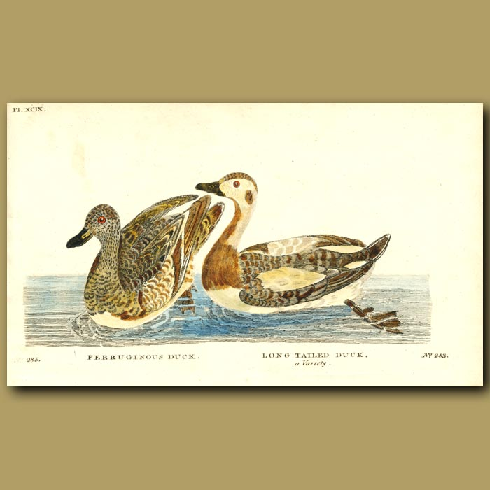 Antique print. Ferruginous Duck and Long Tailed Duck