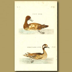 Scaup Duck And Bimaculated Duck