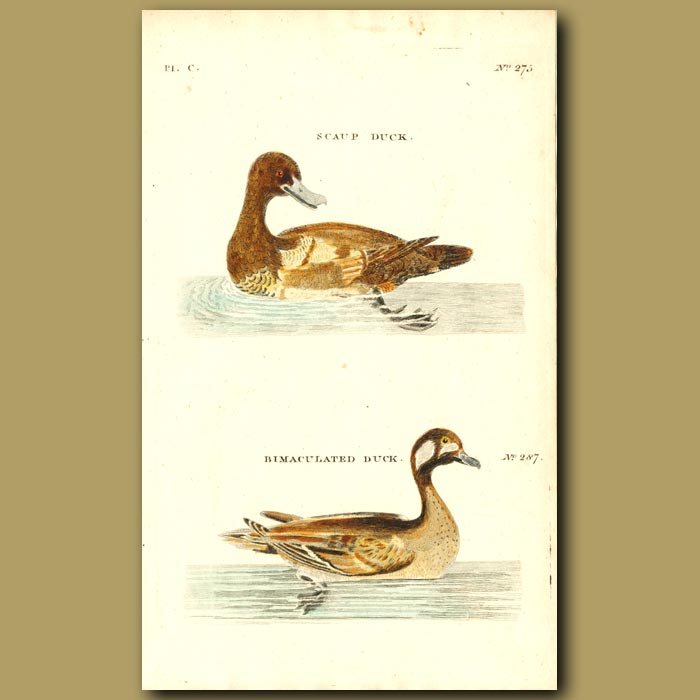 Antique print. Scaup Duck and Bimaculated Duck
