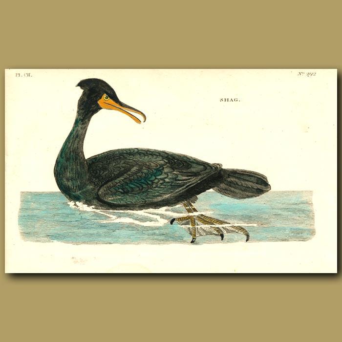 Antique print. Shag or Cormorant