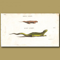 Brown Lizard and Scaly Lizard