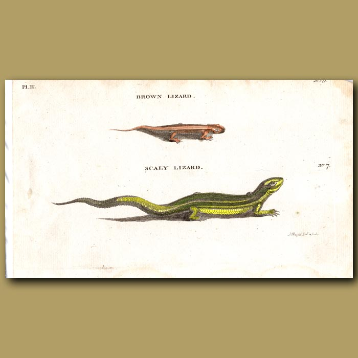 Antique print. Brown Lizard and Scaly Lizard