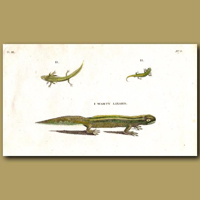 Antique print. Warty Lizard