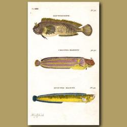 Gattorugine, Crested Blenny and Spotted Blenny