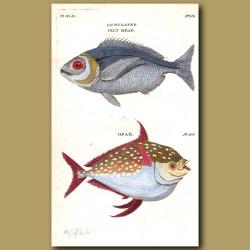 Gilt Head and Opah or Moon Fish
