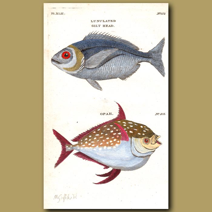 Antique print. Gilt Head and Opah or Moon Fish