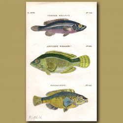 Comber Wrasse, Antient Wrasse and Goldsinny