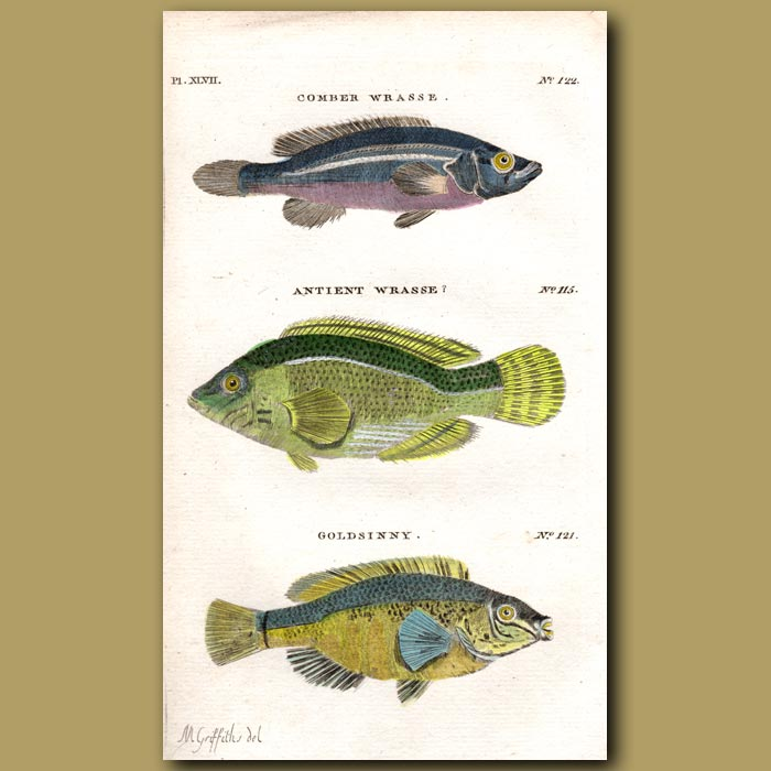 Antique print. Comber Wrasse, Antient Wrasse and Goldsinny