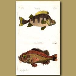 Perch and Sea Perch