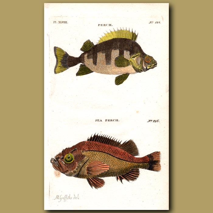 Antique print. Perch and Sea Perch