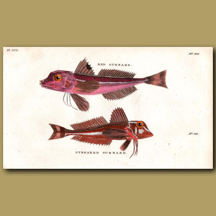 Antique print. Red Gurnard and Streaked Gurnard