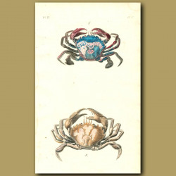 Common and Cleaner Crabs