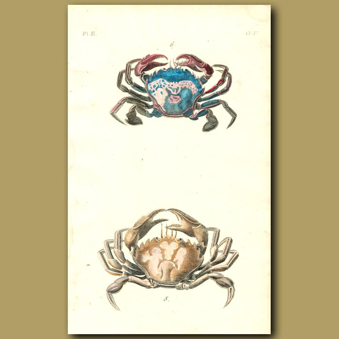 Antique print. Common and Cleaner Crabs