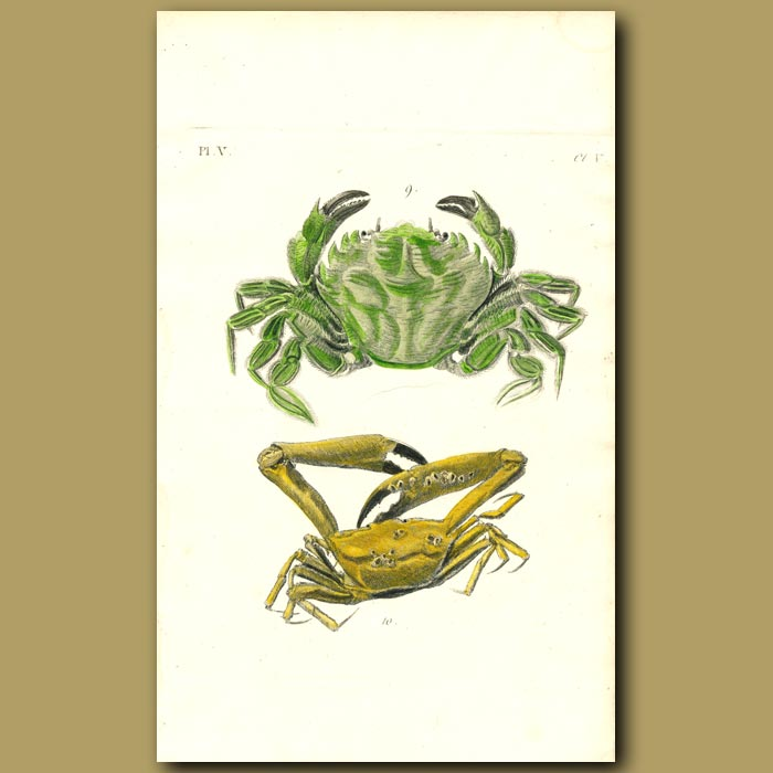 Antique print. Wrinkled and Angular Crabs