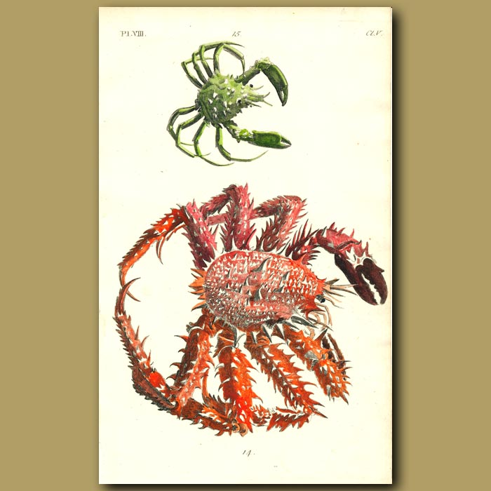 Antique print. Horrid and Four-clawed Crabs