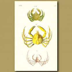 Spider and Slender-legged Crabs
