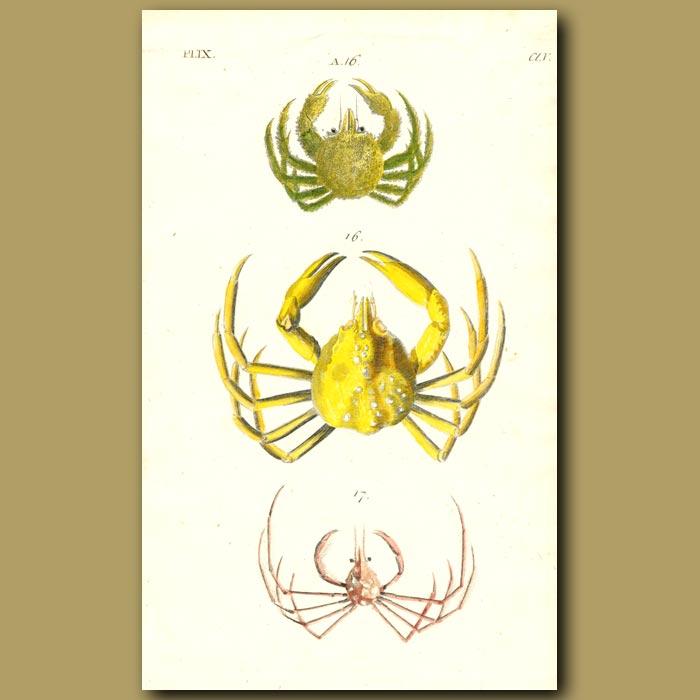 Antique print. Spider and Slender-legged Crabs