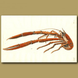 Long-clawed Lobster