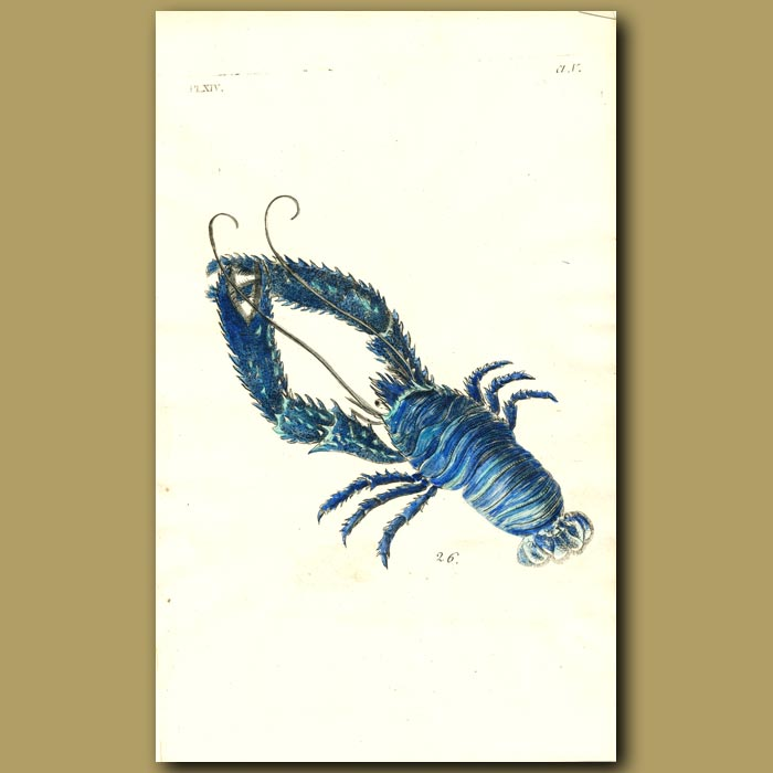 Antique print. Plated Lobster