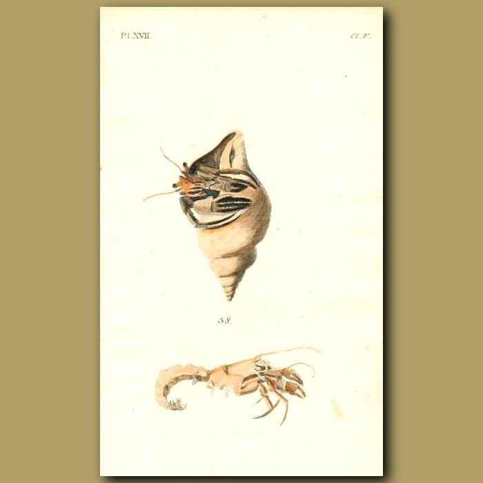Antique print. Hermit Crab
