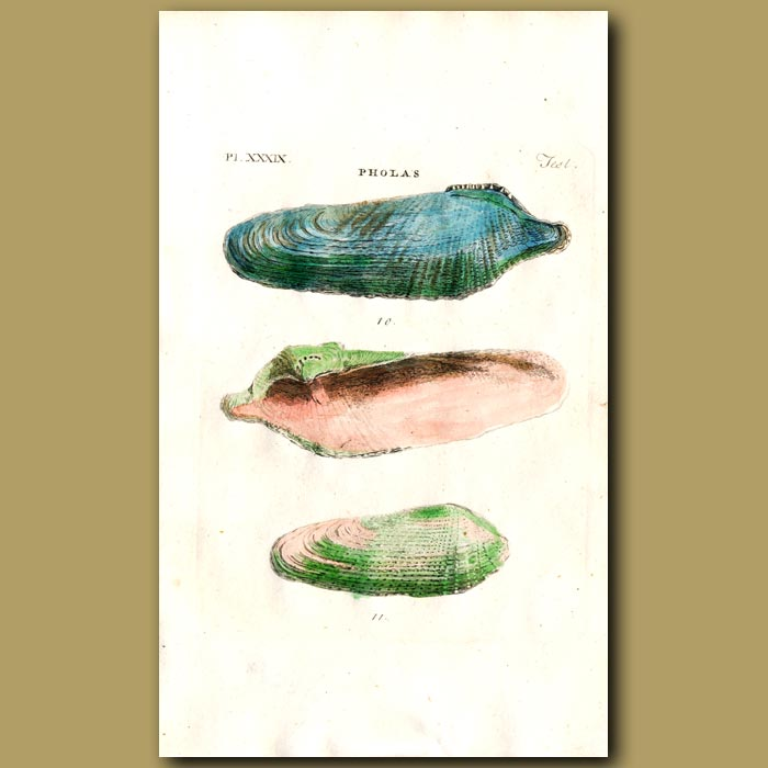 Antique print. Dactyle and White Pholas shells