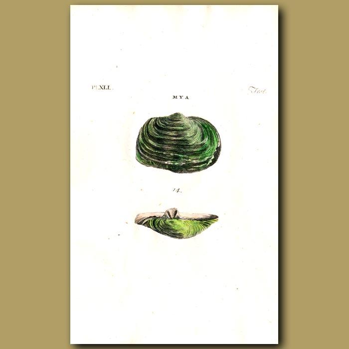 Antique print. Abrupt Myas shells