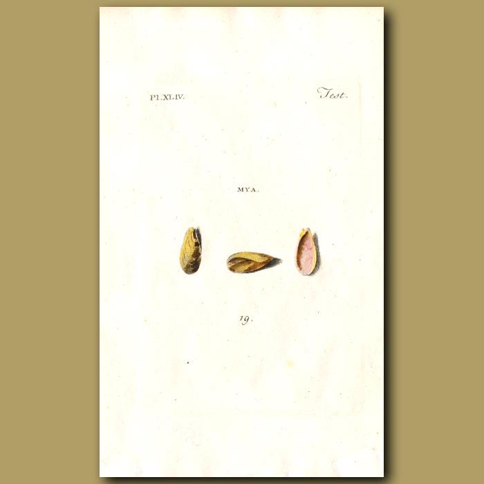 Antique print. Dubious Myas shells