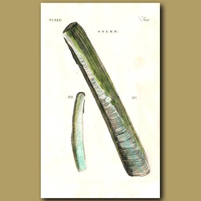 Antique print. Pod Razor and Scymeter Razor shells