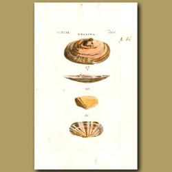 Fragile, Depressed and Carnation Telline's shells