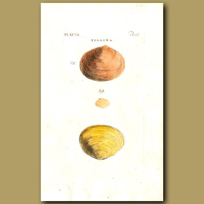 Antique print. Flat and Plain Telline's shells