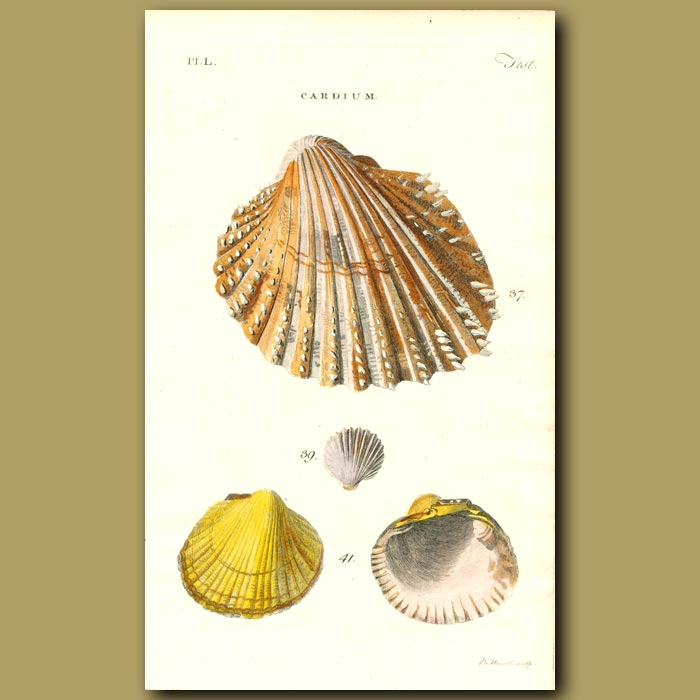 Antique print. Aculeate, Fringed and Edible Cockel Seashells