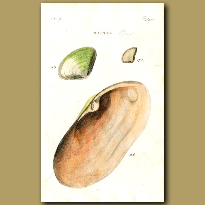 Antique print. Simpleton's, Strong, Large Cockle shells