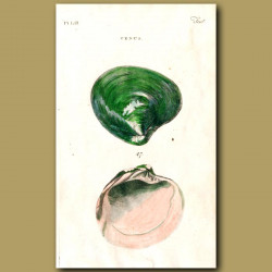 Commercial Venus shell