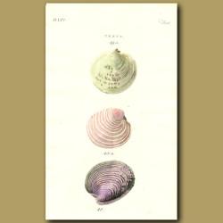 Sicilian and Antiquated Venus Seashells