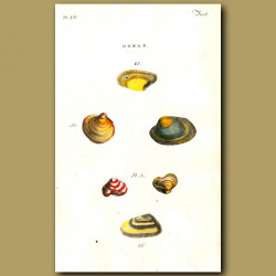 Waved and Indented Venus Clam shells