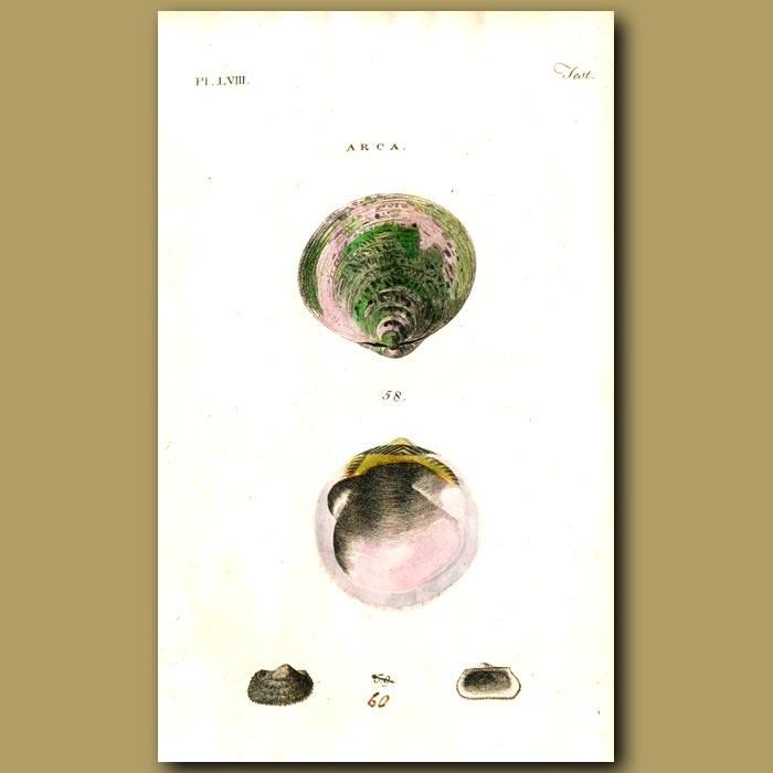 Antique print. Orbicular and Bearded Arca shells