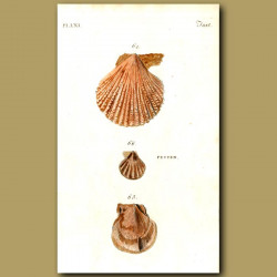 Variegated, Writhed and Worn Scallop shells