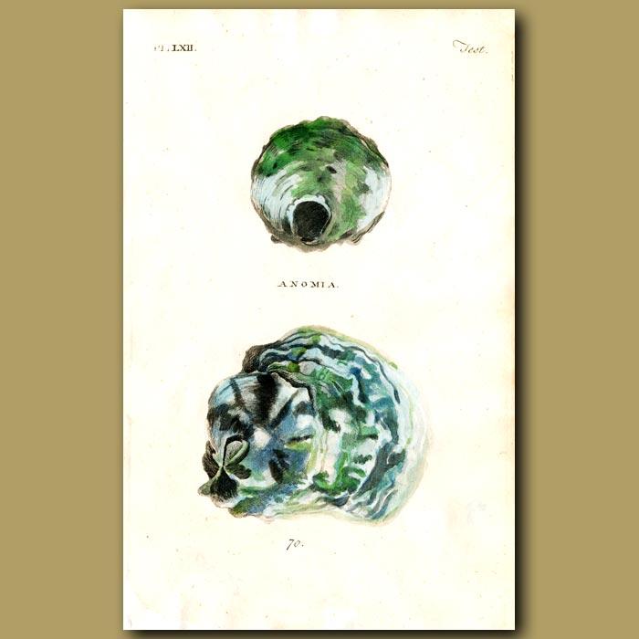 Antique print. Oyster shells