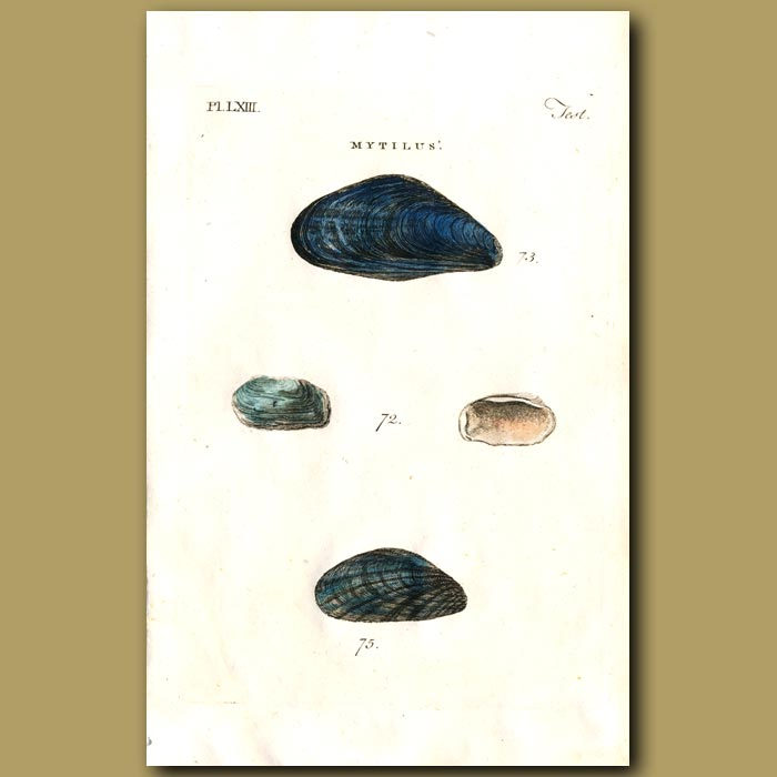 Antique print. Rugged, Edible and Pellucid Mussel shells