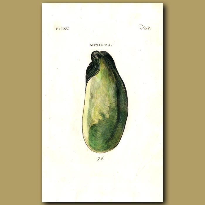 Antique print. Umbilicated Mussel shells