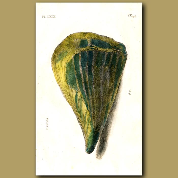 Antique print. Brittle Nacre shells