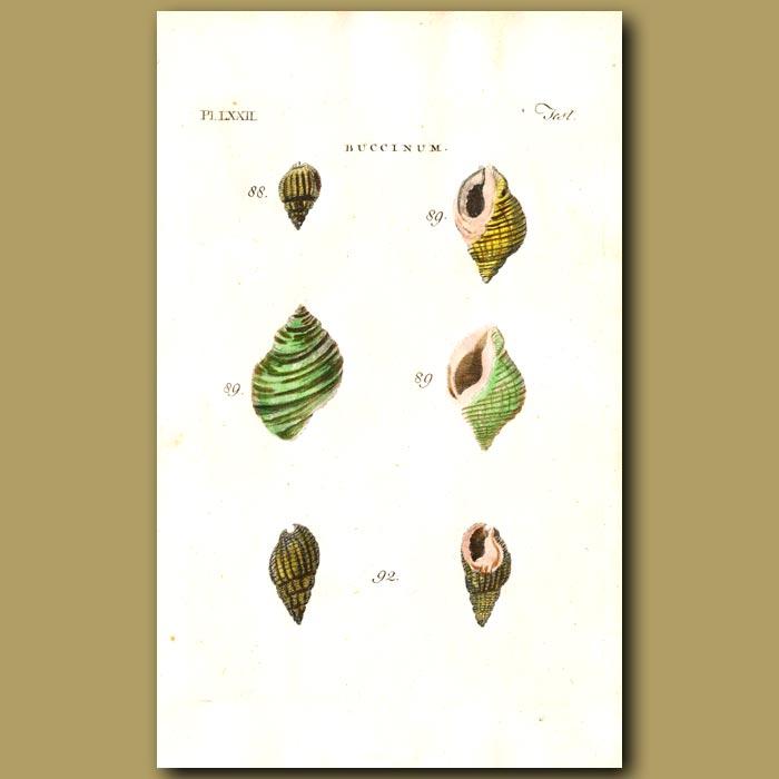 Antique print. Whelk shells
