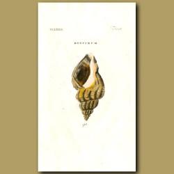 Waved Whelk shells