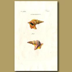 Corvorant's Foot Strombus shells
